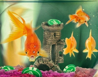Turniej na golden fish tank